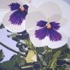 La viola bianca - 2010, cm. 100x100